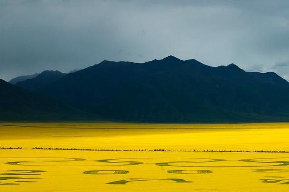 百里油菜花海位于青海省门源县,祁连山与大坂山之间的盆地,宁张公路