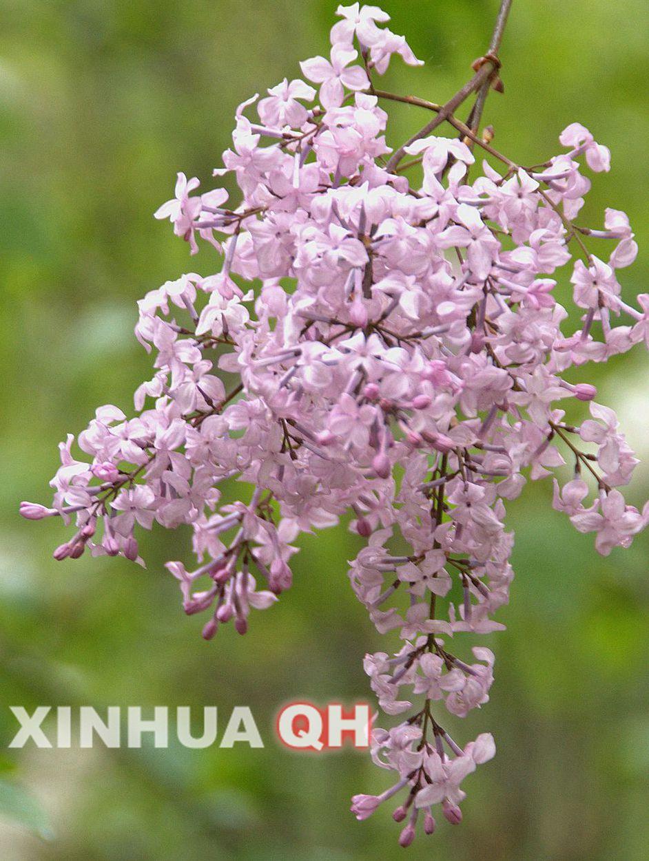 五月的西宁:满城皆开丁香花丁香花的图片加介绍图片