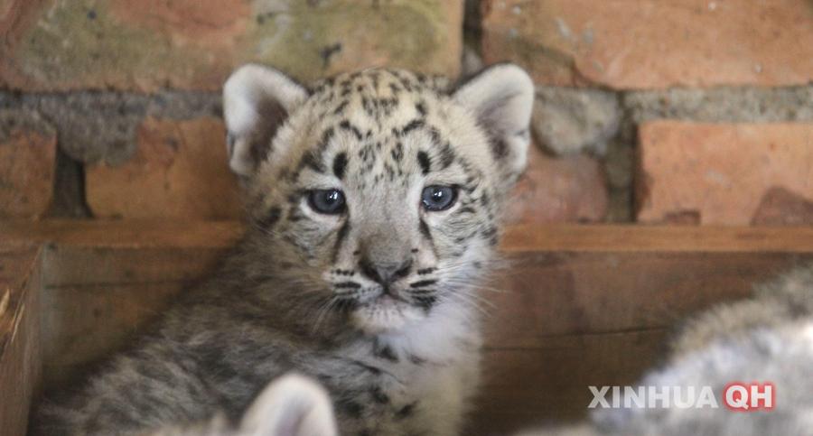 西宁野生动物园首次对雪豹人工哺育