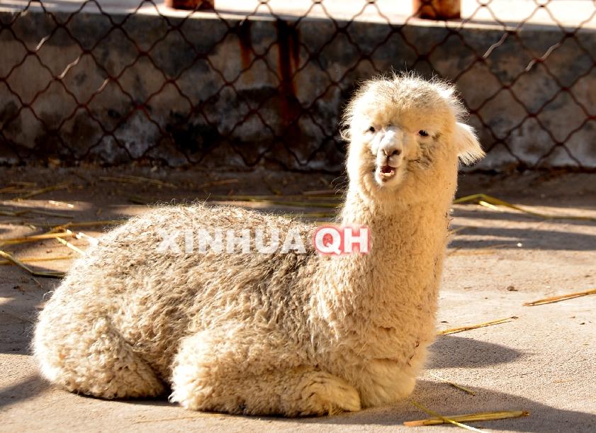 羊驼落户西宁野生动物园