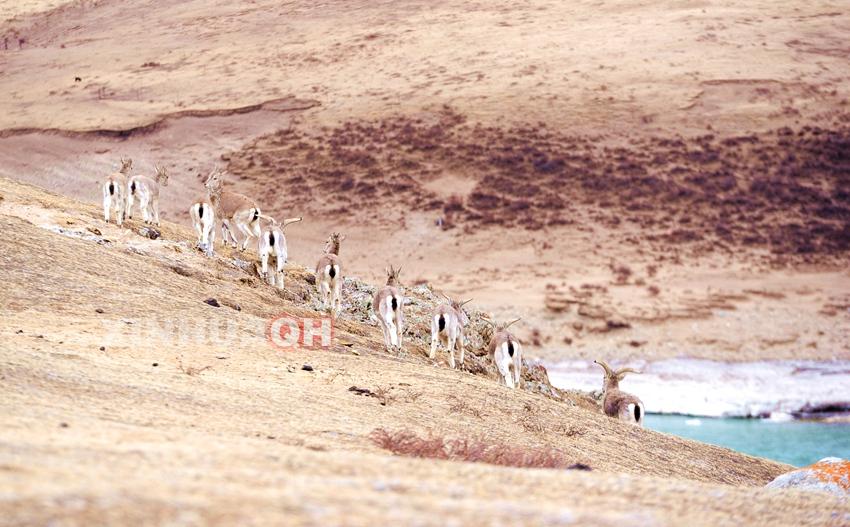 三江源,人与野生动物和谐相处美景随处可见
