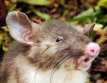 老鼠长着猪鼻子 印尼现新物种猪鼻鼠