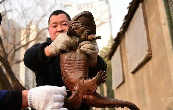 娃娃鱼是国家二级保护动物