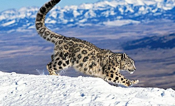 国家一级保护动物雪豹获评2017年度明星物种