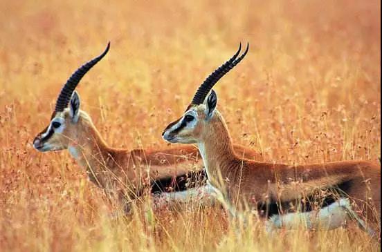 藏羚羊入选中国十大濒危物种保护成功案例, 这里也有你的功劳!