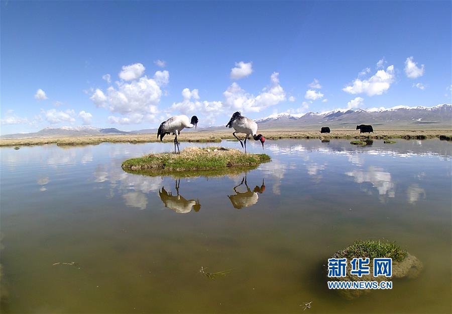 (图文互动)(2)青海祁连山地区首次采集到黑颈鹤孵化影像