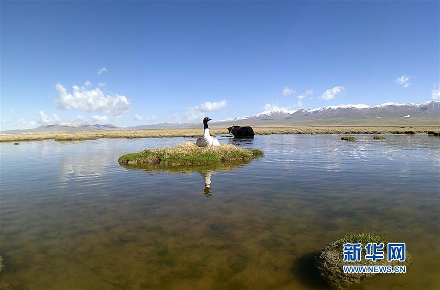 (图文互动)(3)青海祁连山地区首次采集到黑颈鹤孵化影像