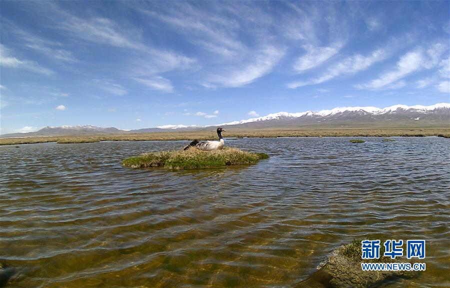 (图文互动)(4)青海祁连山地区首次采集到黑颈鹤孵化影像