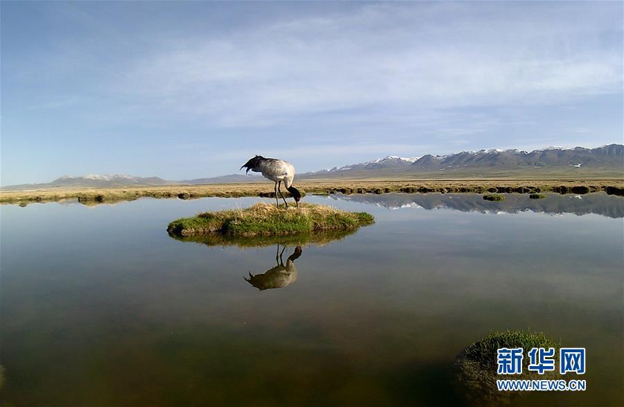(图文互动)(5)青海祁连山地区首次采集到黑颈鹤孵化影像