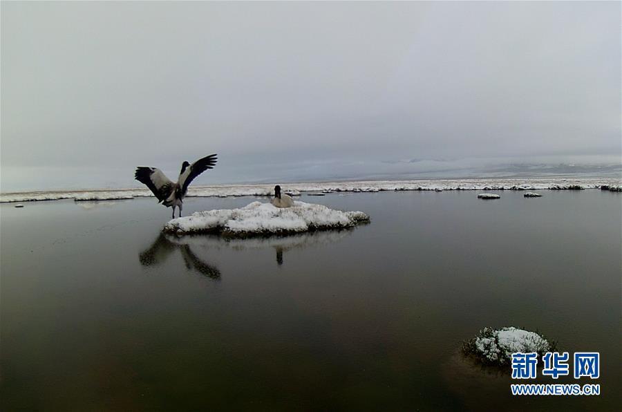 (图文互动)(6)青海祁连山地区首次采集到黑颈鹤孵化影像