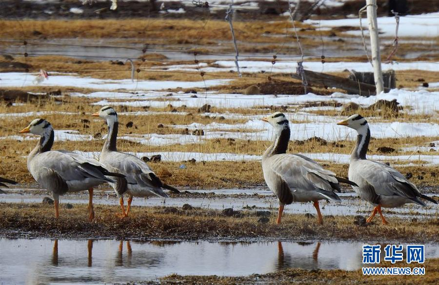 (图文互动)(1)青海玉树:今年首批黑颈鹤飞抵嘉塘草原