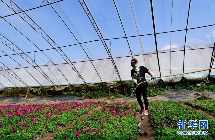 (經濟)(1)青海大通:高原鮮花待出棚