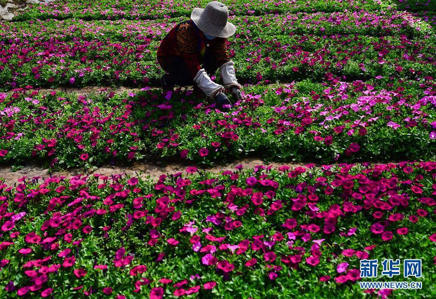 (經濟)(2)青海大通:高原鮮花待出棚