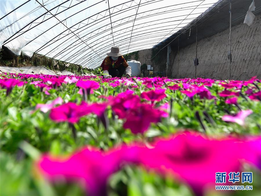 (經濟)(3)青海大通:高原鮮花待出棚