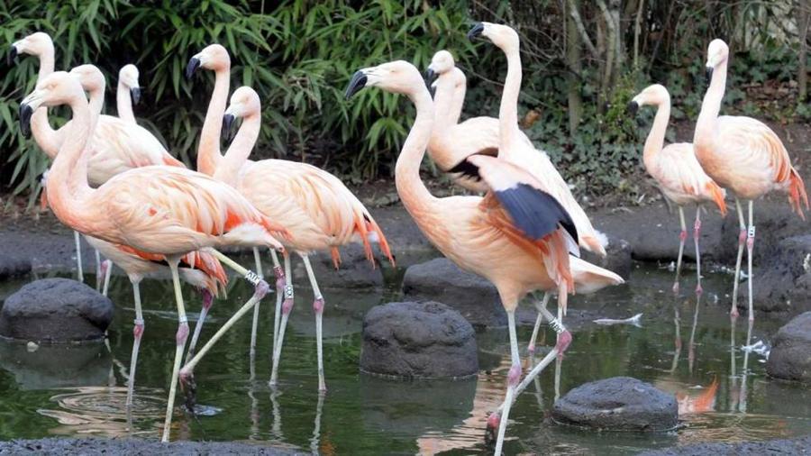 """德国法兰克福动物园15只火烈鸟被""""斩首"""""""
