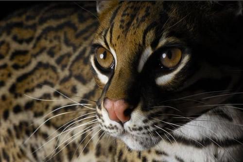 保护濒临灭绝动物小画报