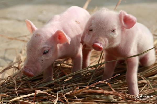 江西南昌小猪生双面 三只眼两张嘴吃奶瞄不准