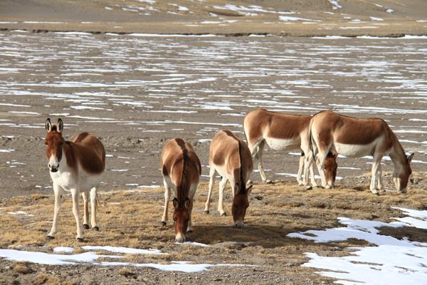 德令哈市珍稀野生动物保护见成效