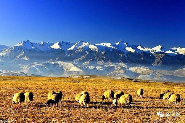 门源:高原型藏羊保护成效显著