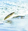 湟魚洄遊:再現半河清水半河魚