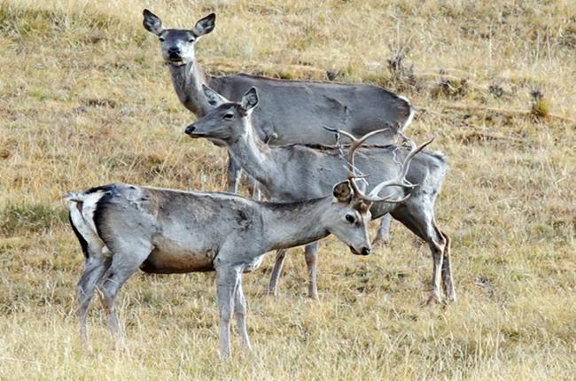 海拔3000米以上的半野生鹿基地