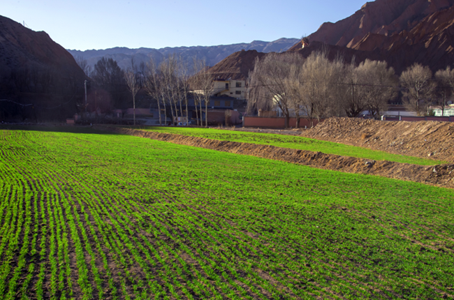 青海:黃河岸邊春來早 貴德冬小麥進入返青期