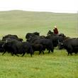 牦牛産業支撐脫貧綠色發展