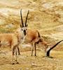 為進(jin)一步鞏(gong)固可可西里(li)申遺成果,全面提高國家公園野ba)dong)物監測、巡(xun)護工作力度,國內首(shou)支(zhi)藏羚羊遷徙(xi)護航(hang)隊成立。