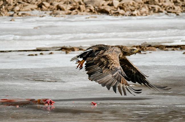 """猛禽駕到!""""鳥中老虎""""白尾海雕現身玉樹通天河畔"""