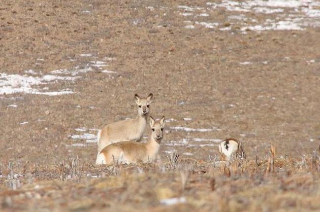 冬日活躍在三江源地區的野生動物