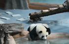 """人山人海(hai) 都是大熊貓惹(ruo)的""""禍""""?"""