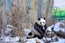 熊貓戲初雪