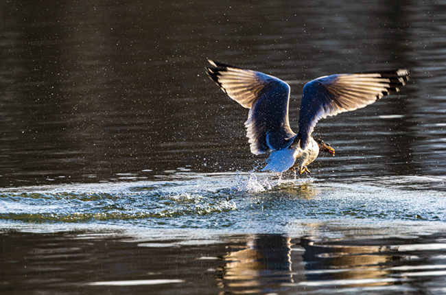 春日掠影 西寧市人民公園魚鷗翩翩起舞