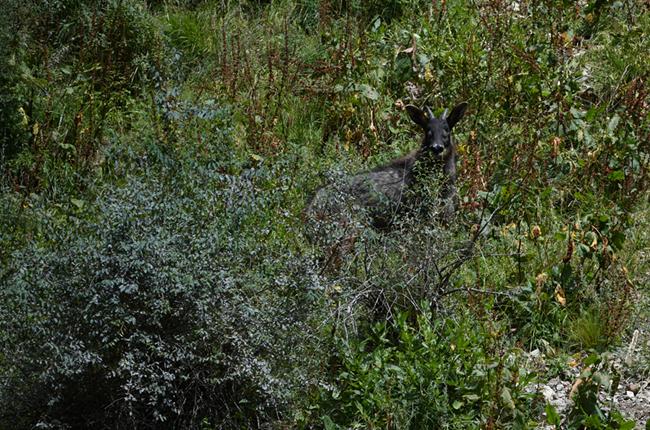 中華鬣羚現身青海玉樹