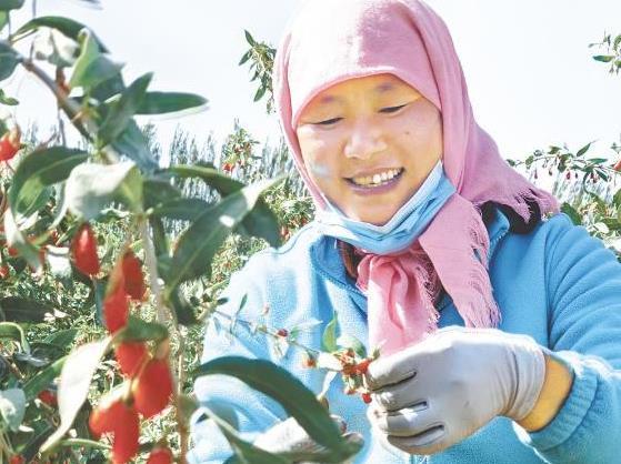 【柴達木盆地的豐收故事】採摘園裏的笑聲
