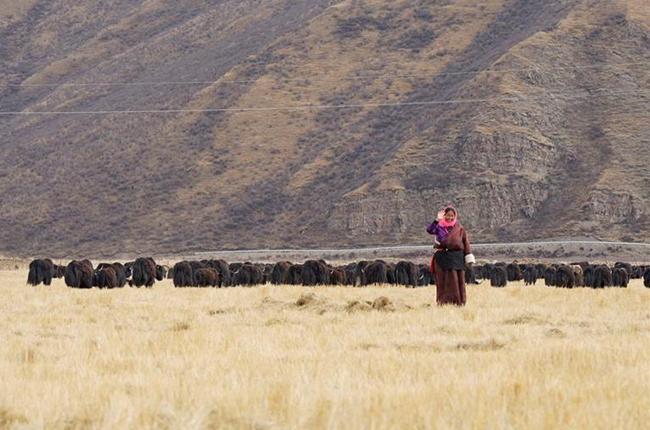 青海牧區開始儲備過冬飼草