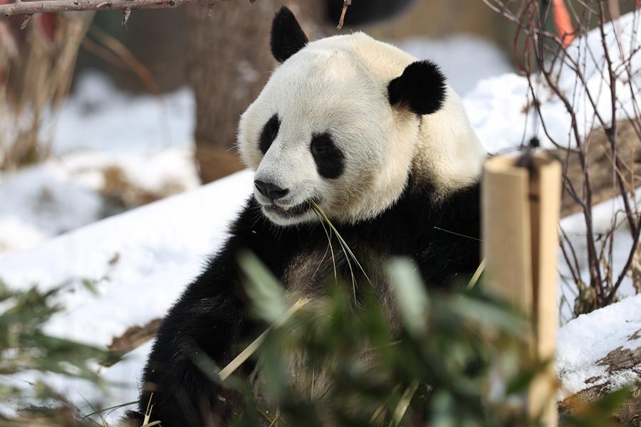 雪中大熊貓