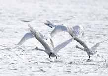 冬日黃河天鵝翔集