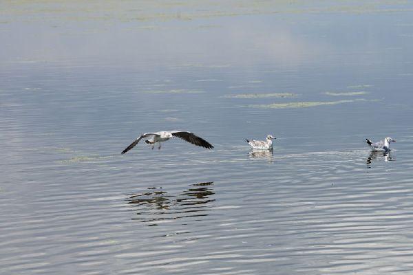 青海湖:水鳥競飛
