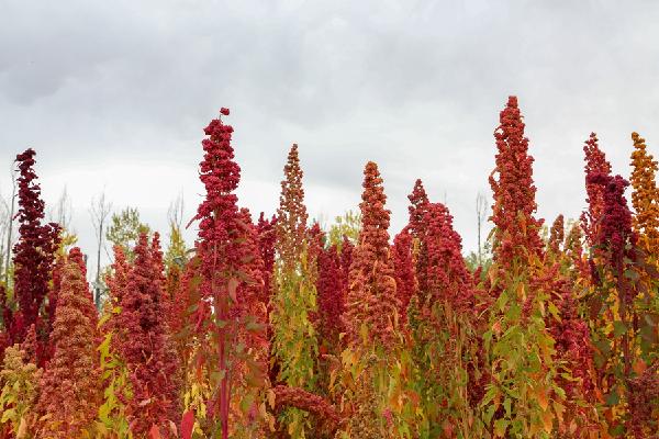 藜麥豐收季,多彩染大地